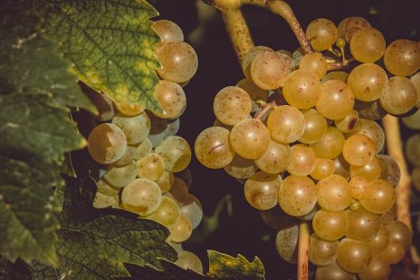 Moscatel uva blanca